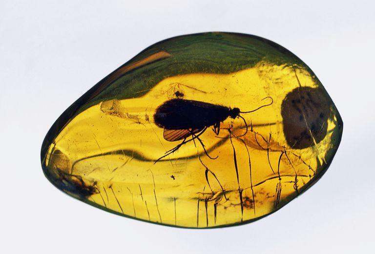 В янтаре из музея Калининграда найдены неизвестные науке насекомые возрастом более 50 млн лет