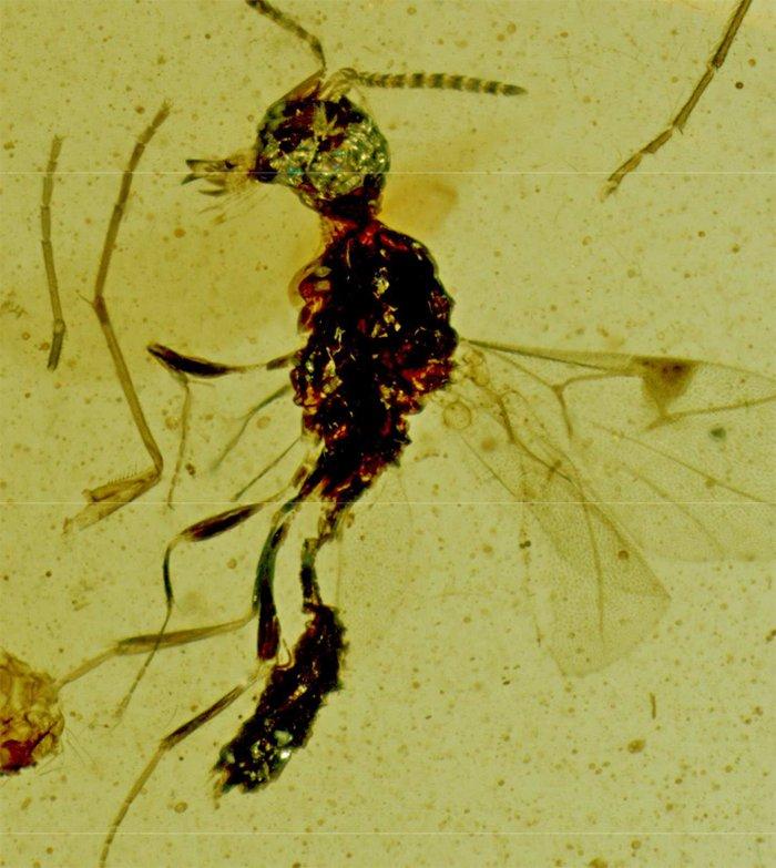 Обнаруженная в янтаре странная древняя оса была названа в честь Дракулы, и мы понимаем, почему
