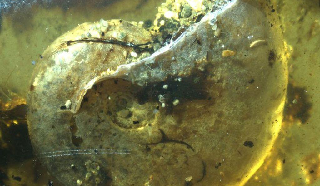 Родственник кальмара, которому 100 миллионов лет, оказался в янтаре