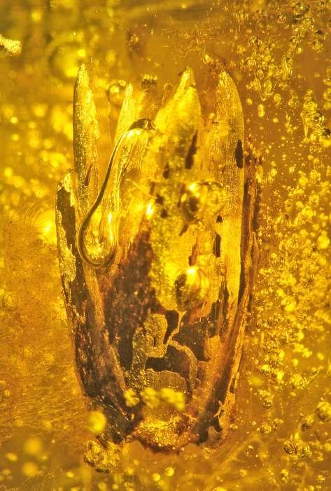 В балтийском янтаре впервые нашли растение эпохи эоцена